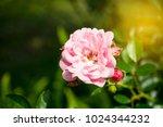 pink miniature rose | Shutterstock . vector #1024344232