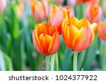 tulip flower with green leaf... | Shutterstock . vector #1024377922