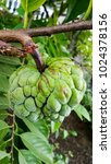 Sugar Apple's On The Branch...