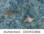 fossil shells on the rock  sea... | Shutterstock . vector #1024412806