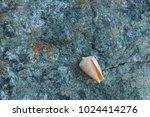 fossil shells on the rock  sea... | Shutterstock . vector #1024414276