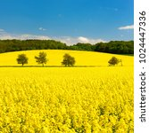 field of rapeseed blossoming... | Shutterstock . vector #1024447336