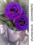 Small photo of Two Beautiful bright purple color blooming roses in a steel bucket ready to be sold. Copy space for wordings, text, message. Varieties of option to use for.