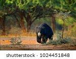 sloth bear  melursus ursinus ... | Shutterstock . vector #1024451848