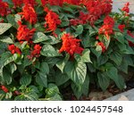 salvia flowers are blooming.   Shutterstock . vector #1024457548