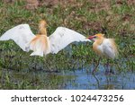 eastern cattle egret  bubulcus...   Shutterstock . vector #1024473256