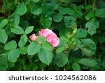 rosebush there is a rosebush...