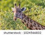 rhodesian giraffe  giraffa...   Shutterstock . vector #1024566832