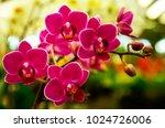 Pink Phalaenopsis Or Moth...