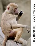 single hamadryas baboon in... | Shutterstock . vector #1024743922