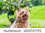 Cute Female Dog Of Breed...