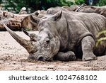 rhinos at the zoo | Shutterstock . vector #1024768102