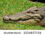 head of saltwater crocodile ... | Shutterstock . vector #1024837156