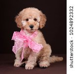 Stock photo cute poodle puppy with a pink bow 1024892332