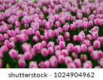 pink tulips flowers. beautiful... | Shutterstock . vector #1024904962