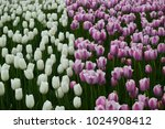 white and pink tulips flowers.... | Shutterstock . vector #1024908412