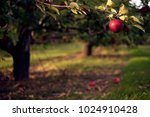 apple hanging from tree branch... | Shutterstock . vector #1024910428
