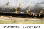 a honey bee is any member of... | Shutterstock . vector #1024941646