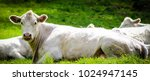 The Charolais is a breed of taurine beef cattle from the Charolais area surrounding Charolles, in Burgundy, in eastern France. Charolais are raised for meat; they may be crossed with other breeds.