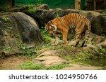 the malayan tiger  panthera... | Shutterstock . vector #1024950766