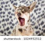 Lilac Merle Chihuahua Dog Pupp...