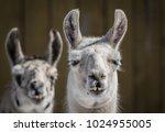 domestic llama   llama glama  ...   Shutterstock . vector #1024955005