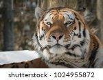 siberian tiger   amur tiger  ... | Shutterstock . vector #1024955872