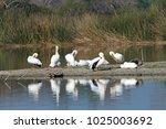 White Pelicans Preening On The...