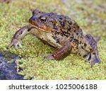 Huge Western Toad