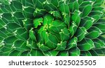 closeup view of a green agave... | Shutterstock . vector #1025025505