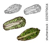 chinese cabbage salad sketch...   Shutterstock .eps vector #1025070616
