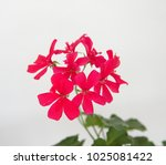Spanish Ivy Geranium With...
