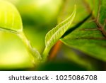 young leaves on an indoor plant | Shutterstock . vector #1025086708