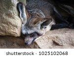 cape fox with big bat ears... | Shutterstock . vector #1025102068
