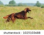 Red Dog Running Against...