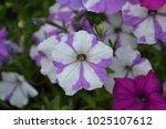petunia. stimoryne. petunia... | Shutterstock . vector #1025107612