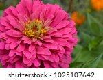 flower major. zinnia elegans.... | Shutterstock . vector #1025107642