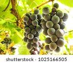 sweet dark blue grapes on a... | Shutterstock . vector #1025166505