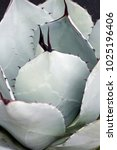 Small photo of Artichoke agave (Agave parryi var. truncata). Called Mescal agave also