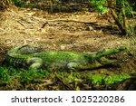 a dangerous saltwater crocodile | Shutterstock . vector #1025220286
