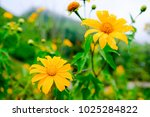 mexican sunflower in mountain... | Shutterstock . vector #1025284822