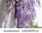 Flowering Wisteria Plants On...