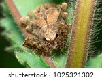brown spider family sparassidae ... | Shutterstock . vector #1025321302