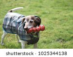 Stock photo dog holding football toy while playing outside in yard 1025344138