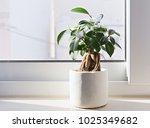 potted ficus bonsai on light... | Shutterstock . vector #1025349682