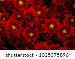 Beautiful Red Chrysanthemum...