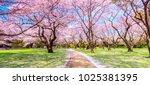 walkway under the sakura tree... | Shutterstock . vector #1025381395