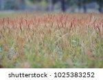 grassland close up background. | Shutterstock . vector #1025383252