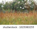 grassland close up background. | Shutterstock . vector #1025383255