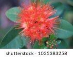 red flower close up. | Shutterstock . vector #1025383258